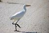 Cattle Egret (Bubulcus ibis) (6998583407).jpg