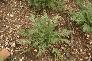 Cenia turbinata - Botanischer Garten Mainz IMG 5626.JPG