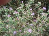 Centaurea calcitrapa.JPG