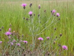 Rispen-Flockenblume: Pflanze– Matt Lavin, CC BY-SA 2.0