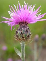 Rispen-Flockenblume: Blüte– Matt Lavin, CC BY-SA 2.0