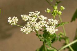 Hecken-Kälberkropf: Blüte– Philipendula, CC BY-SA 3.0