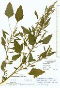 Chenopodium album ssp. album: Selliendorf, Mistplatz, leg. K. Farenholtz, 1990 (Herb. MSTR) (Foto: Rolf Wißkirchen)