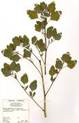 Chenopodium album ssp. borbasii: Wien, Bot. Garten, spontan, leg. J. Walter 1993 (Herb. Wissk.) (Foto: Rolf Wißkirchen)