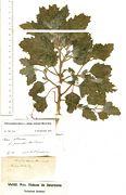 Chenopodium album ssp. borbasii: leg Beckhaus (Herb. MSTR) (Foto: Rolf Wißkirchen)