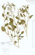 Chenopodium album ssp. pedunculare: Hüls, leg. G. Becker (Herb. NHV) (Foto: NHV Bonn)