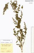 Chenopodium berlandieri: Wesel, leg. Fettweiß 1929, Herb. NHV (Foto: NHV Bonn)