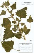 Chenopodium giganteum: Gohlis, leg. Fiedler (Herb. LZ) (Foto: Rolf Wißkirchen)