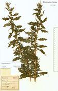 Chenopodium glaucum: Bonn-Friesdorf, leg. F. Wirtgen (Herb. NHV) (Foto: NHV Bonn)