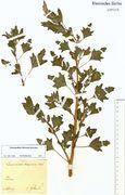 Chenopodium hircinum: Rheine, leg. Fettweiß (Herb. NHV) (Foto: NHV Bonn)