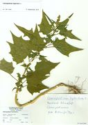 Chenopodium hybridum: Rheinufer bei Zons, leg. Hempelmann (Herb. MSTR) (Foto: Rolf Wißkirchen)