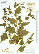 Chenopodium hybridum: Kaiserstuhl, leg. K. Farenholtz (Herb. MSTR) (Foto: Rolf Wißkirchen)