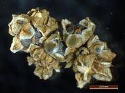 Chenopodium hybridum: Blütenknäuel bei der Fruchtreife, Castrop-Rauxel, leg. Büscher (Foto: Rolf Wißkirchen)