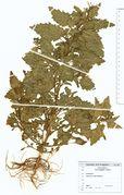 Chenopodium murale: Griechenland, Elafonesos leg. Jagel, 1991 (Herb. Wissk.) (Foto: Rolf Wißkirchen)