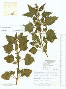 Chenopodium murale: Dören, leg. Farenholtz (Herb. MSTR) (Foto: Rolf Wißkirchen)