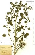 Chenopodium opulifolium: Bonn, Hofgarten, leg. F. Wirtgen, 1894 (Herbar Bonn, NHV) (Foto: Rolf Wißkirchen)