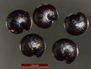 Chenopodium polyspermum: reife Samen, Duisburg, leg. Kutzelnigg (Herb. MSTR) (Foto: Rolf Wißkirchen)