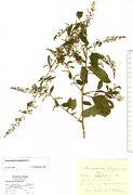 Chenopodium polyspermum: Duisburg, leg. Kutzelnigg (Herb. MSTR) (Foto: Rolf Wißkirchen)