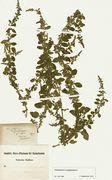 Chenopodium polyspermum: Höxter, leg. Beckhaus 1868 (Herb. MSTR) (Foto: Rolf Wißkirchen)