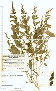 Chenopodium polyspermum: Moselgebiet, Euren, leg. Freiberg 1932 (Herb. MSTR) (Foto: Rolf Wißkirchen)