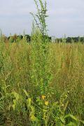 Einzelpflanze, Oberfranken, bei Kemmern (nahe Bamberg), 04.09.2014 (Foto: Rolf Wißkirchen)