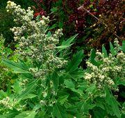 Chenopodium quinoa: Blütenstände, cult. Bot. Gärten Bonn, 24.08.2011 (Foto: Rolf Wißkirchen)