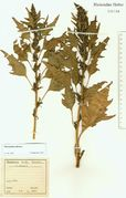 Chenopodium rubrum: Niederrhein, Brühl, leg. Drude (Herb. NHV) (Foto: NHV Bonn)