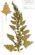 Chenopodium urbicum var. intermedium: Frankreich, Nivernais, bei Varzy an der D 977 nördl. La Charité, 1989 (Herb. Wissk.) (Foto: Rolf Wißkirchen)