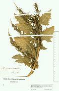 Chenopodium urbicum var. intermedium: Pfalz, leg. Ziz (Herb. MSTR) (Foto: Rolf Wißkirchen)