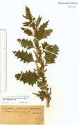 Chenopodium urbicum var. intermedium: Merzig, Schuhler, 8–9/1889 (Herb. NHV) (Foto: NHV Bonn)
