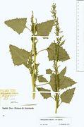Chenopodium urbicum var. urbicum: Lotte, leg. Fledderm. 1844 (Herb. MSTR) (Foto: Rolf Wißkirchen)