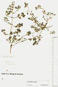Chenopodium vulvaria: Warburg, Straßenunkraut (Herb. MSTR) (Foto: Rolf Wißkirchen)
