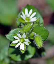 Blüte und Blätter– André Karwath, CC BY-SA 2.5