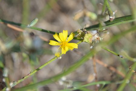 Chondrilla juncea (Chalets Gruissan-12).JPG