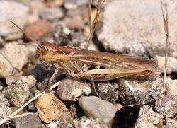Feldgrashüpfer-Weibchen - Quartl, CC BY-SA 3.0