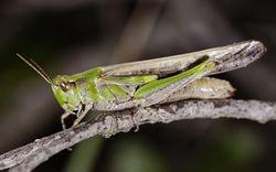 Nachtigall Grashüpfer: Weibchen - Christian Ferrer, CC BY-SA 4.0