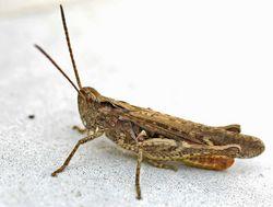 Männchen - entomart, CC BY-SA 3.0