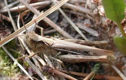Verkannter Grashüpfer: Weibchen - G.-U. Tolkiehn, CC BY-SA 3.0