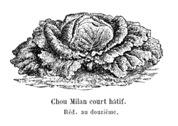 Chou Milan court hâtif Vilmorin-Andrieux 1904.png