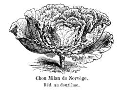 Chou Milan de Norvège Vilmorin-Andrieux 1904.png