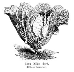 Chou Milan doré Vilmorin-Andrieux 1904.png