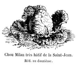 Chou Milan très hâtif de la Saint-Jean Vilmorin-Andrieux 1904.png