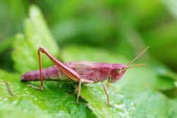 Nymphe (Jungtier), Weibchen - Gilles San Martin, CC BY-SA 2.0