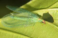 Chrysopa oculata BugGuide192297.jpg