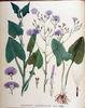 Cicerbita macrophylla ssp macrophylla.jpg
