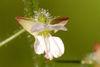 Circaea lutetiana, Blüte