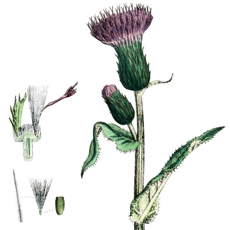 Alantdistel (aus English Botany, Bd.5, 1878 beschrieben als Carduus heterophyllus)