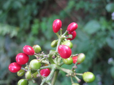 Cissampelos pareira fruits.JPG