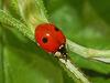 Coccinellidae - Adalia bipunctata.JPG