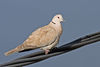 Collared Dove.jpg